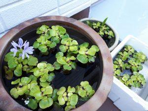 ホテイアオイに花が咲き