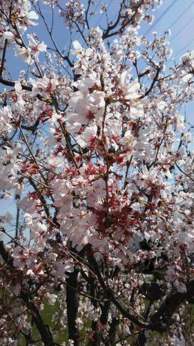 春ですねぇ(^^)🌸